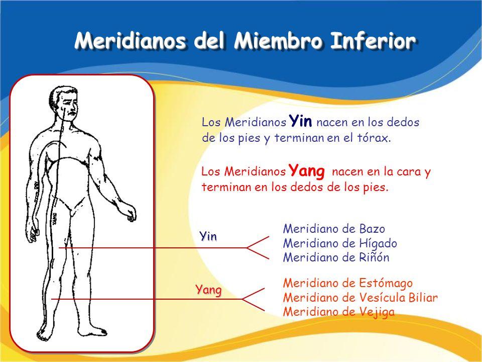Meridianos del Miembro Inferior Meridianos del Miembro Inferior Meridiano de Bazo Meridiano de Hígado Meridiano de Riñón Meridiano de Estómago Meridia