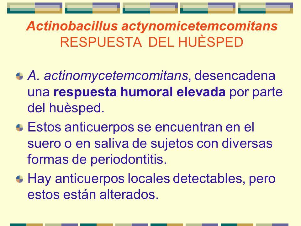 Actinobacillus actynomicetemcomitans RESPUESTA DEL HUÈSPED A. actinomycetemcomitans, desencadena una respuesta humoral elevada por parte del huèsped.