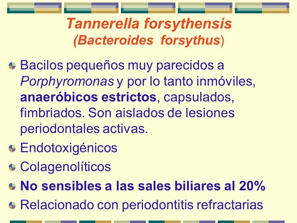 Tannerella forsythensis (Bacteroides forsythus) Bacilos pequeños muy parecidos a Porphyromonas y por lo tanto inmóviles, anaeróbicos estrictos, capsul
