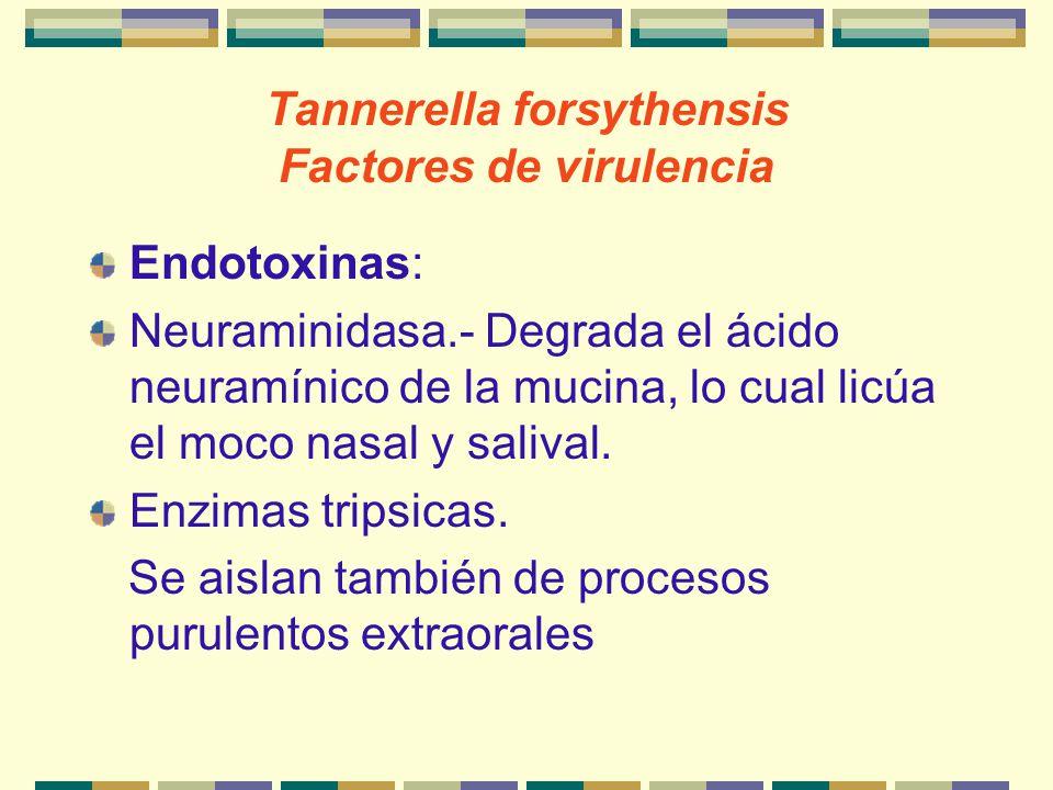 Tannerella forsythensis Factores de virulencia Endotoxinas: Neuraminidasa.- Degrada el ácido neuramínico de la mucina, lo cual licúa el moco nasal y s