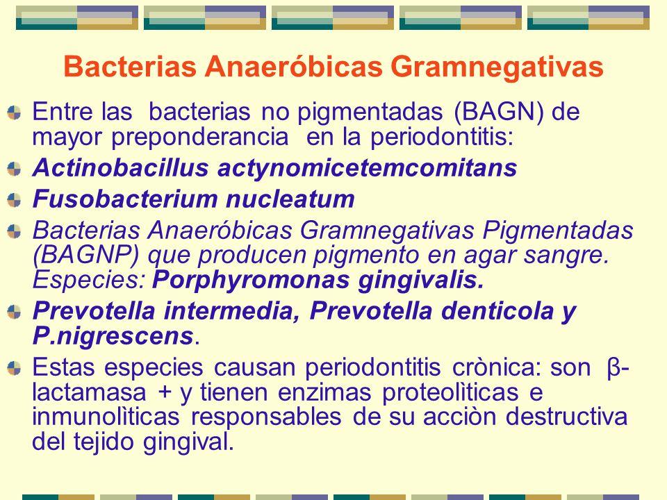 Bacterias Anaeróbicas Gramnegativas Entre las bacterias no pigmentadas (BAGN) de mayor preponderancia en la periodontitis: Actinobacillus actynomicete