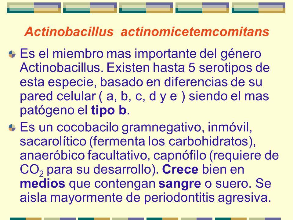 Actinobacillus actinomicetemcomitans Es el miembro mas importante del género Actinobacillus. Existen hasta 5 serotipos de esta especie, basado en dife