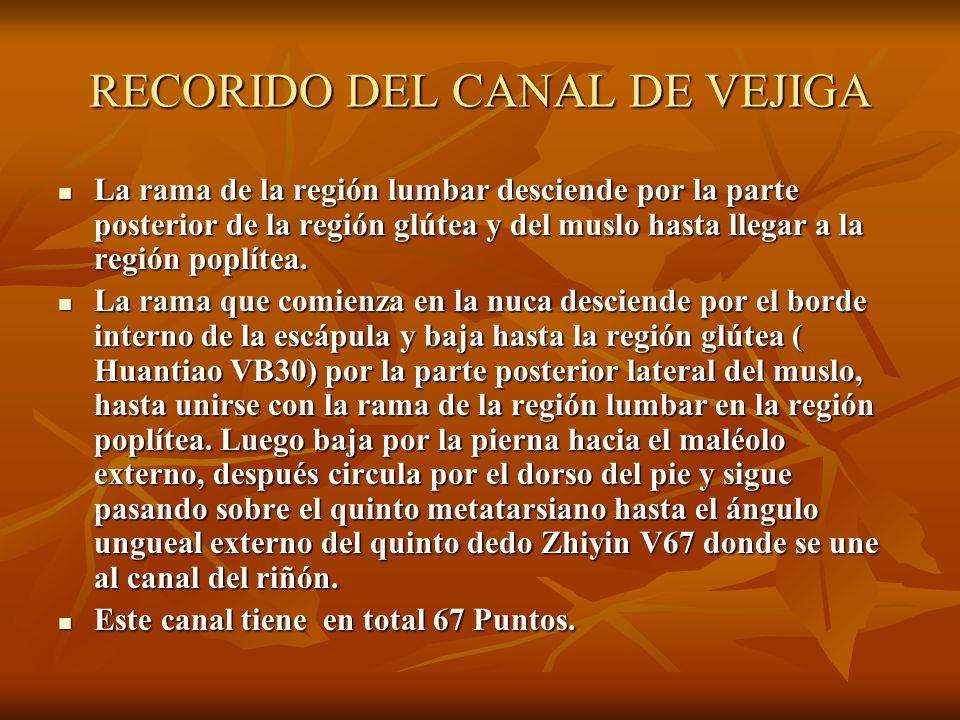 RECORIDO DEL CANAL DE VEJIGA La rama de la región lumbar desciende por la parte posterior de la región glútea y del muslo hasta llegar a la región pop