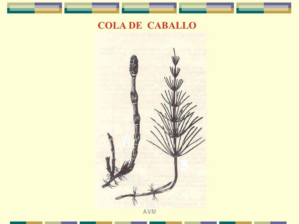 A.V.M COLA DE CABALLO