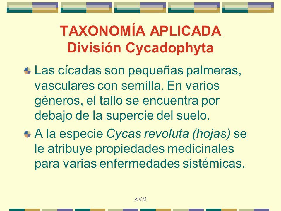 A.V.M TAXONOMÍA APLICADA División Cycadophyta Las cícadas son pequeñas palmeras, vasculares con semilla. En varios géneros, el tallo se encuentra por