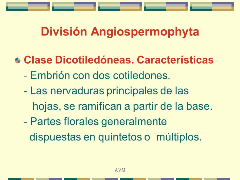 A.V.M División Angiospermophyta Clase Dicotiledóneas.