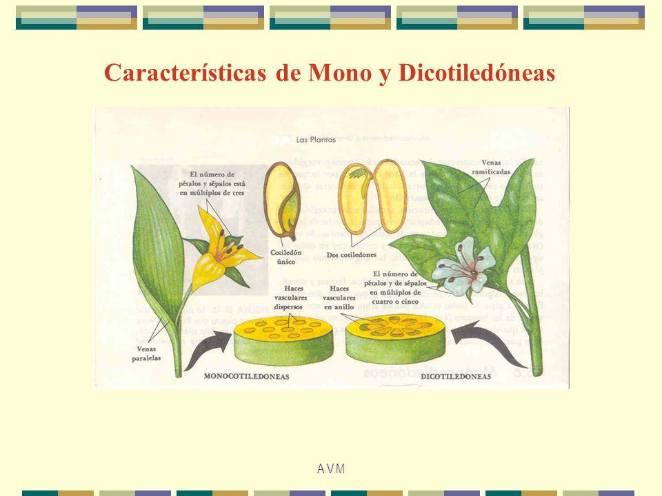 A.V.M Características de Mono y Dicotiledóneas