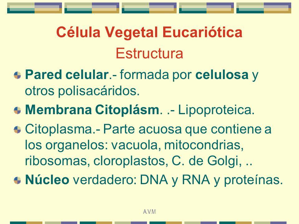 A.V.M Célula Vegetal Eucariótica Estructura Pared celular.- formada por celulosa y otros polisacáridos. Membrana Citoplásm..- Lipoproteica. Citoplasma