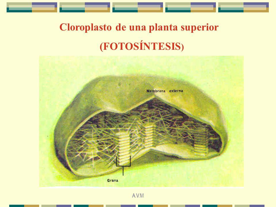 A.V.M Cloroplasto de una planta superior (FOTOSÍNTESIS )