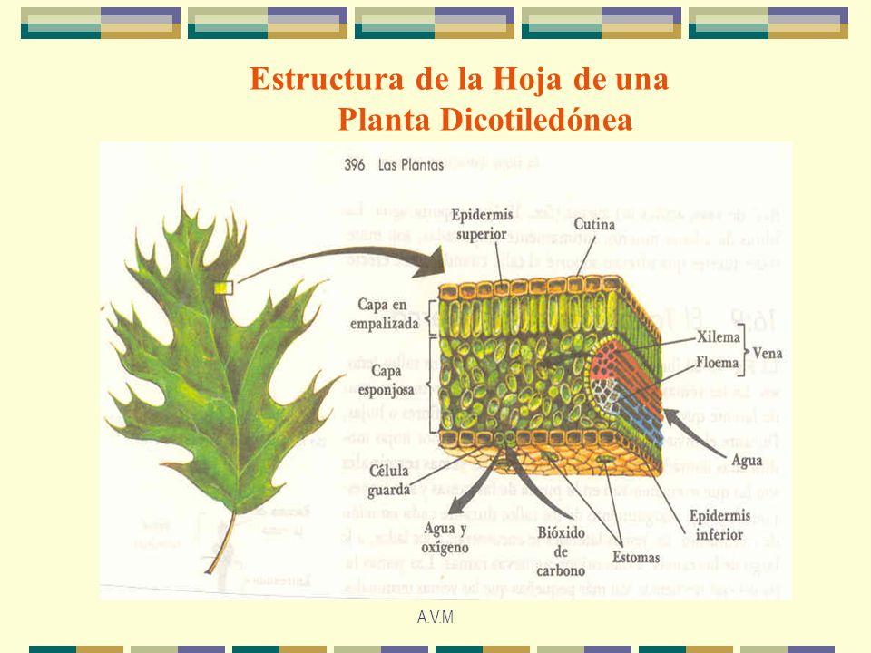 A.V.M Estructura de la Hoja de una Planta Dicotiledónea
