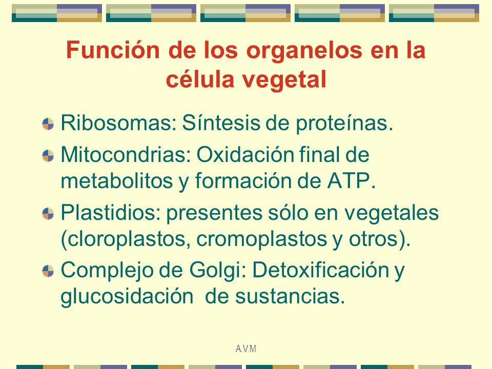 A.V.M Función de los organelos en la célula vegetal Ribosomas: Síntesis de proteínas.