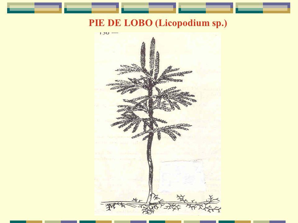 A.V.M PIE DE LOBO (Licopodium sp.)