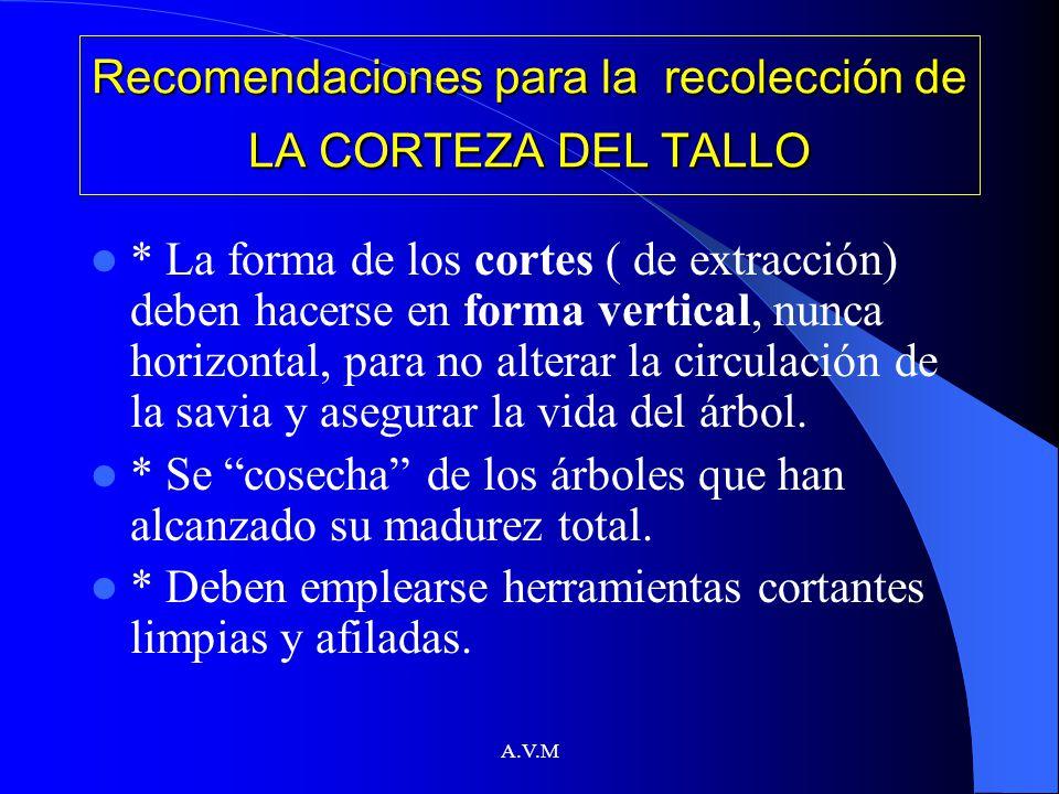 A.V.M Recomendaciones para la recolección de LA CORTEZA DEL TALLO * La forma de los cortes ( de extracción) deben hacerse en forma vertical, nunca hor