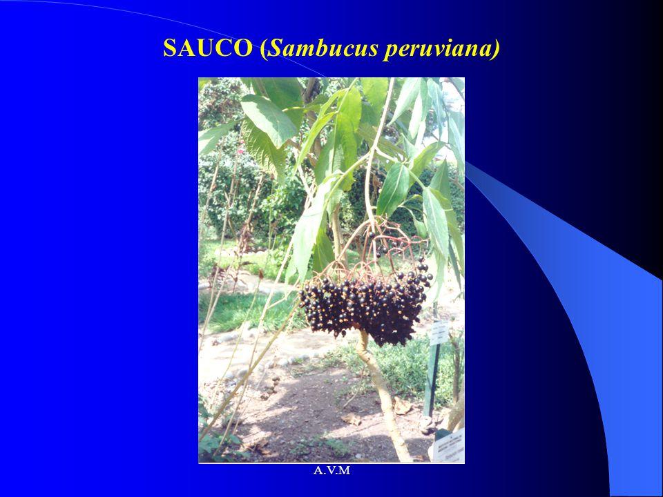 A.V.M SAUCO (Sambucus peruviana)
