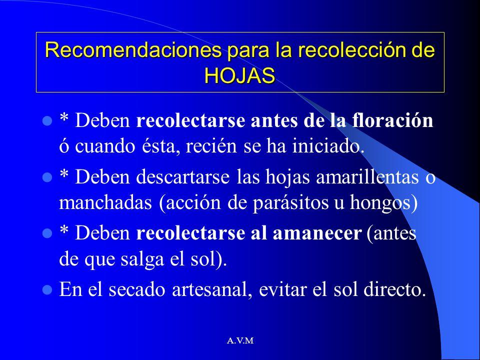 A.V.M Recomendaciones para la recolección de HOJAS * Deben recolectarse antes de la floración ó cuando ésta, recién se ha iniciado. * Deben descartars