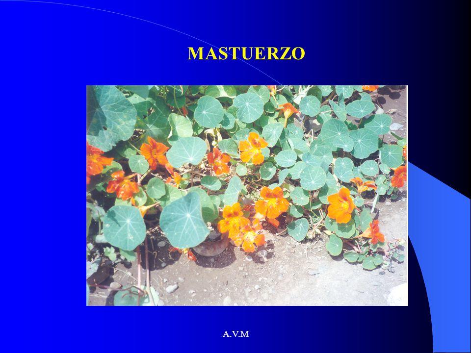 A.V.M MASTUERZO