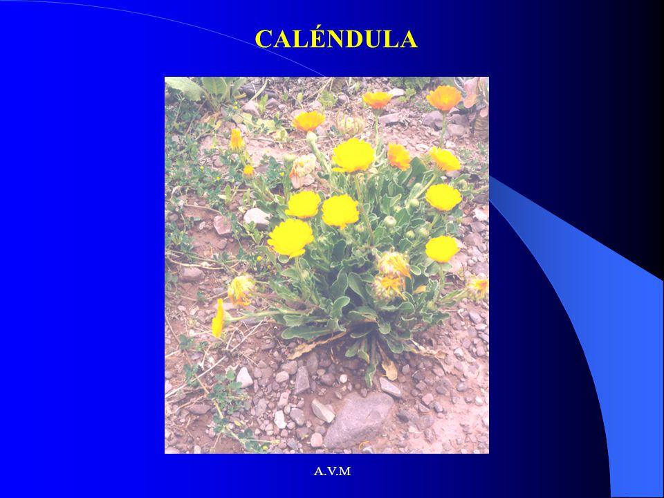 A.V.M CALÉNDULA