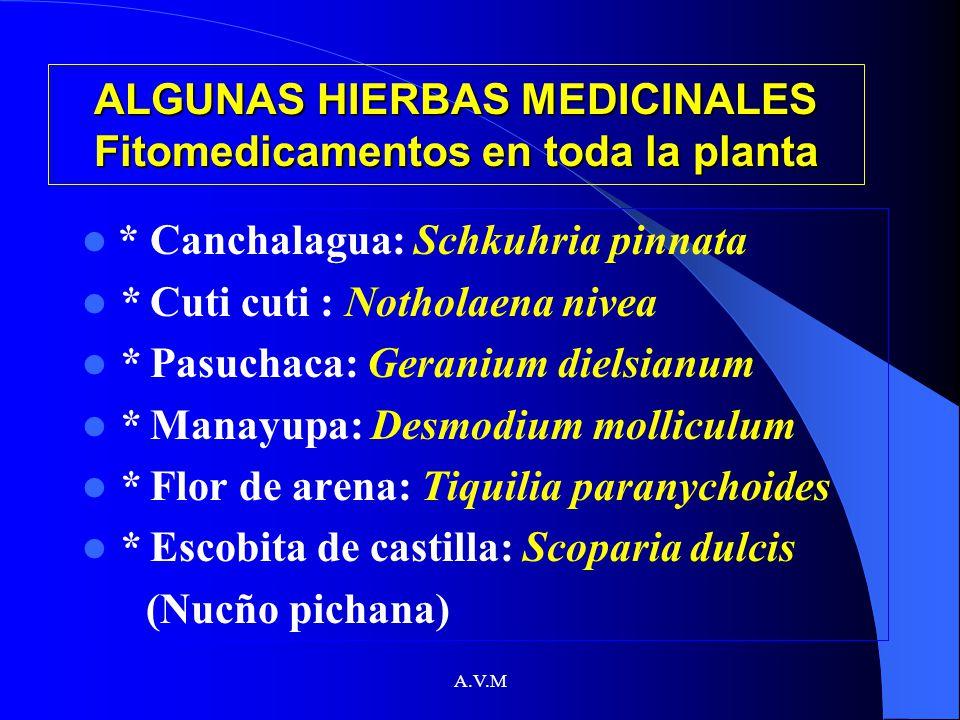A.V.M ALGUNAS HIERBAS MEDICINALES Fitomedicamentos en toda la planta * Canchalagua: Schkuhria pinnata * Cuti cuti : Notholaena nivea * Pasuchaca: Gera