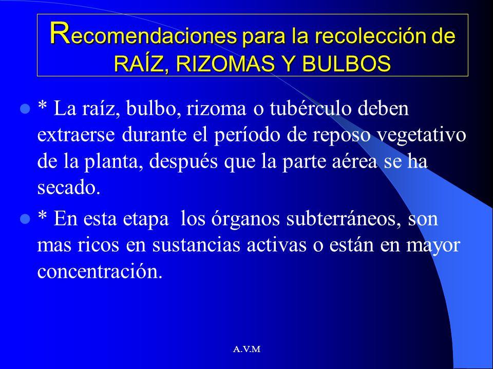 A.V.M R ecomendaciones para la recolección de RAÍZ, RIZOMAS Y BULBOS * La raíz, bulbo, rizoma o tubérculo deben extraerse durante el período de reposo