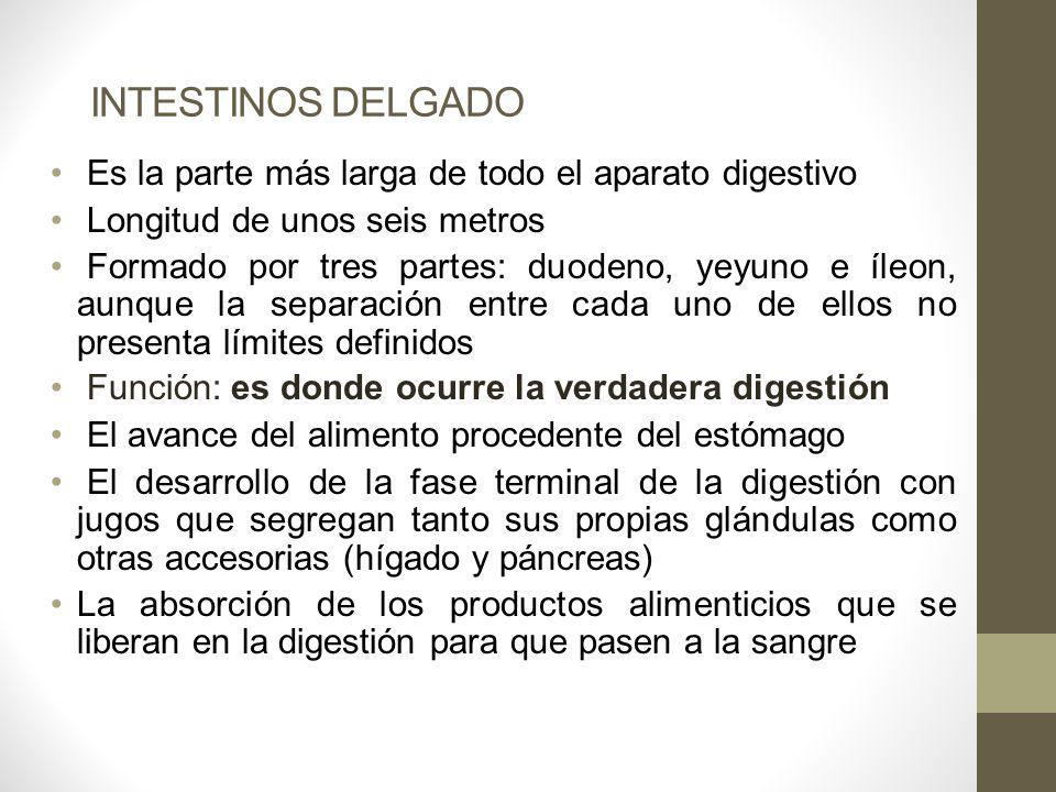 INTESTINOS DELGADO Es la parte más larga de todo el aparato digestivo Longitud de unos seis metros Formado por tres partes: duodeno, yeyuno e íleon, a