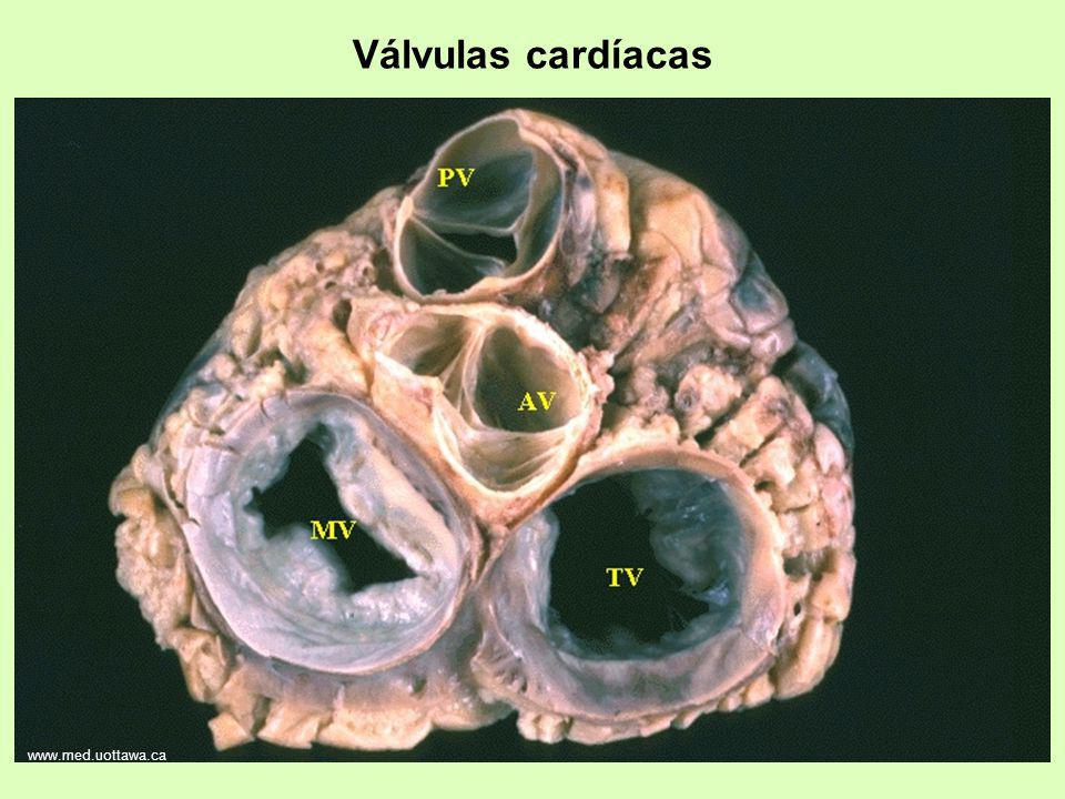 www.med.uottawa.ca Válvulas cardíacas