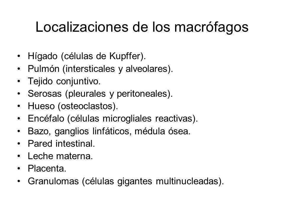 Localizaciones de los macrófagos Hígado (células de Kupffer). Pulmón (intersticales y alveolares). Tejido conjuntivo. Serosas (pleurales y peritoneale