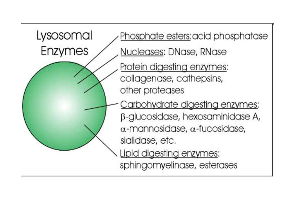 Sistema fagocítico mononuclear Imprescindible en la respuesta defensiva tanto innata como adaptativa.