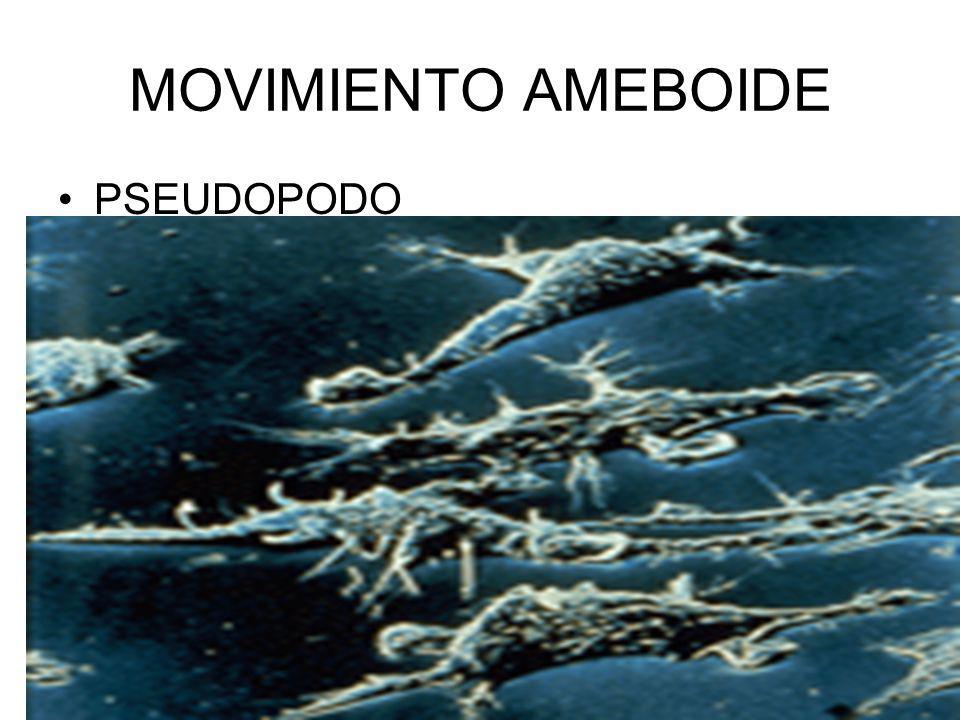 MOVIMIENTO AMEBOIDE PSEUDOPODO