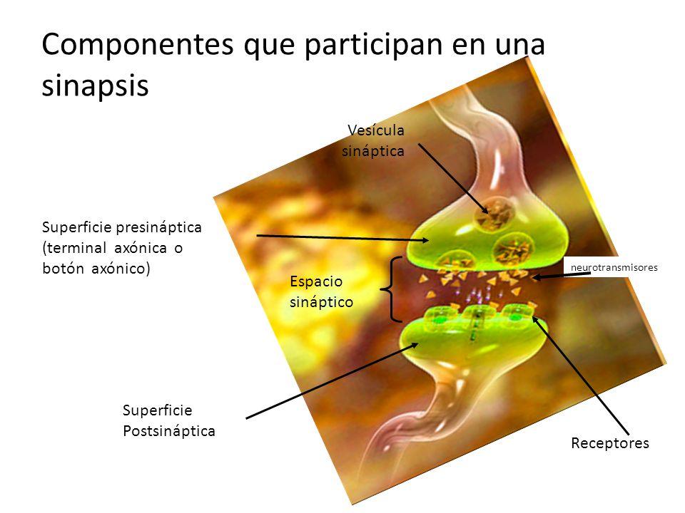 neurotransmisores Componentes que participan en una sinapsis Superficie presináptica (terminal axónica o botón axónico) Espacio sináptico Superficie P