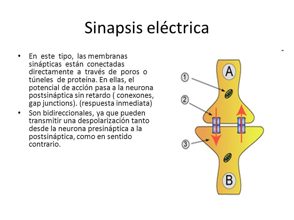 Sinapsis eléctrica En este tipo, las membranas sinápticas están conectadas directamente a través de poros o túneles de proteína. En ellas, el potencia