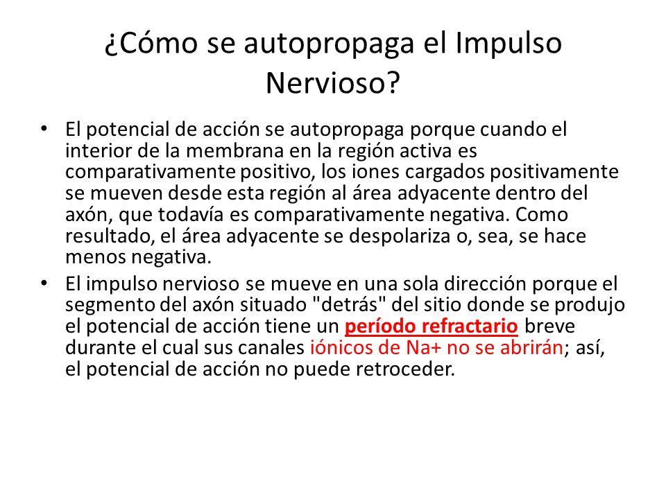 ¿Cómo se autopropaga el Impulso Nervioso? El potencial de acción se autopropaga porque cuando el interior de la membrana en la región activa es compar