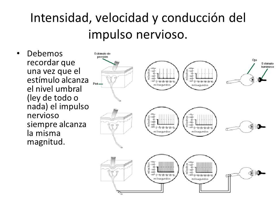 Intensidad, velocidad y conducción del impulso nervioso. Debemos recordar que una vez que el estímulo alcanza el nivel umbral (ley de todo o nada) el