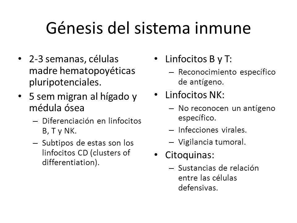 Génesis del sistema inmune 2-3 semanas, células madre hematopoyéticas pluripotenciales. 5 sem migran al hígado y médula ósea – Diferenciación en linfo