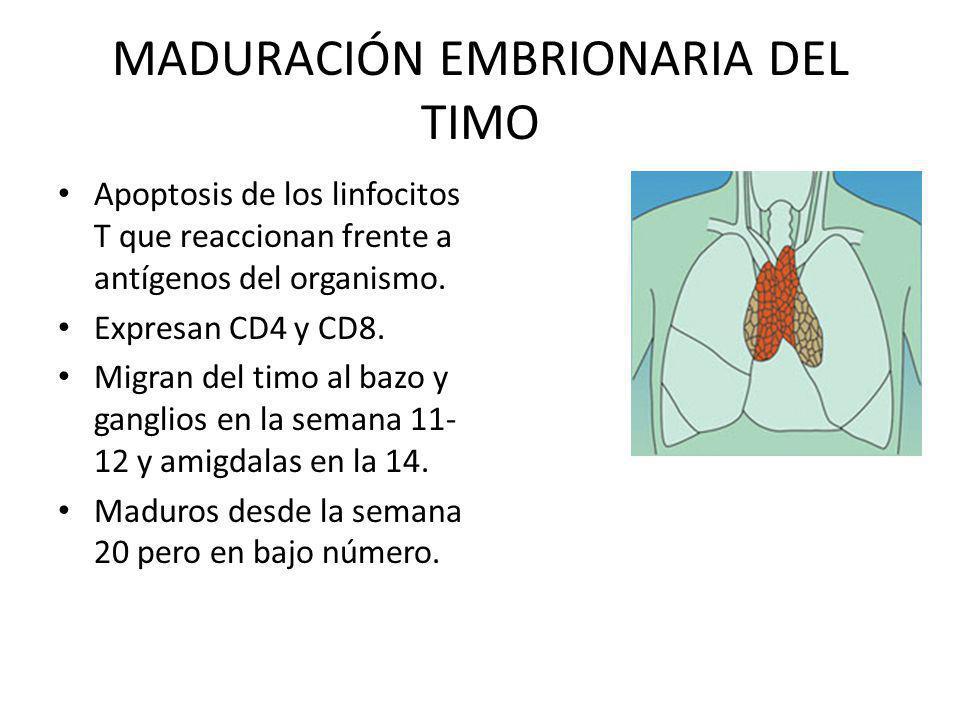 MADURACIÓN EMBRIONARIA DEL TIMO Apoptosis de los linfocitos T que reaccionan frente a antígenos del organismo. Expresan CD4 y CD8. Migran del timo al