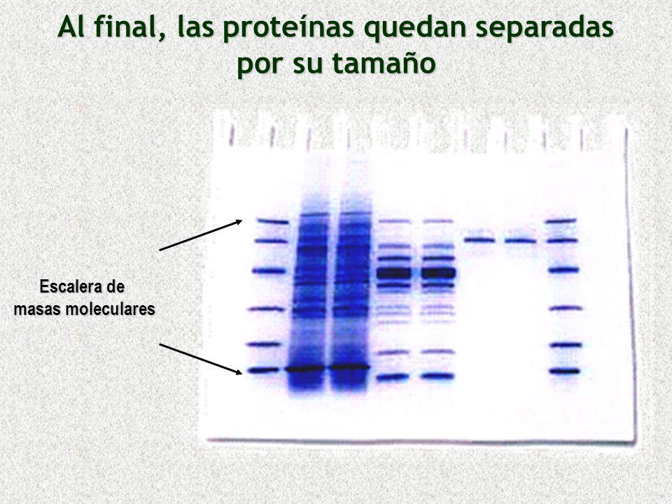 Al final, las proteínas quedan separadas por su tamaño Escalera de masas moleculares