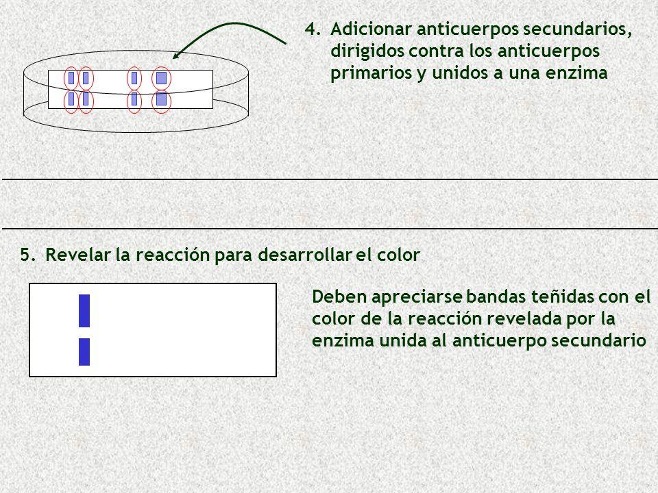 5. 5.Revelar la reacción para desarrollar el color Deben apreciarse bandas teñidas con el color de la reacción revelada por la enzima unida al anticue