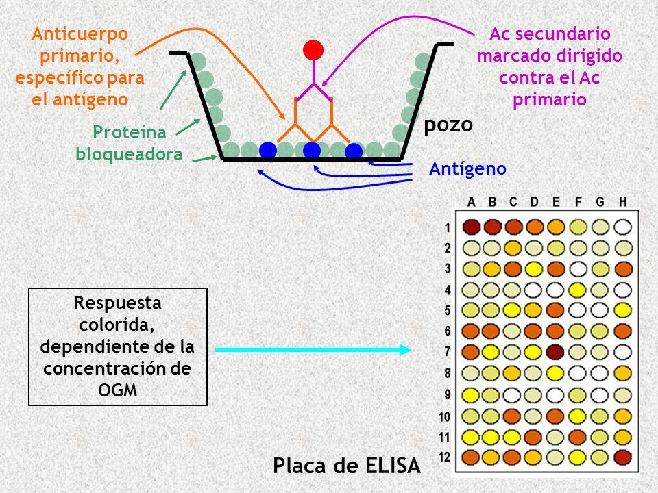 Ac secundario marcado dirigido contra el Ac primario Respuesta colorida, dependiente de la concentración de OGM pozo Antígeno Proteína bloqueadora Ant
