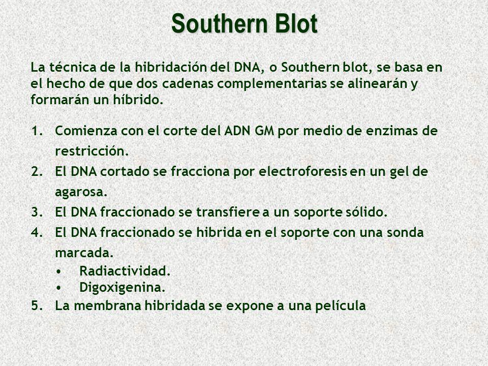 Southern Blot 1. 1.Comienza con el corte del ADN GM por medio de enzimas de restricción. 2. 2.El DNA cortado se fracciona por electroforesis en un gel