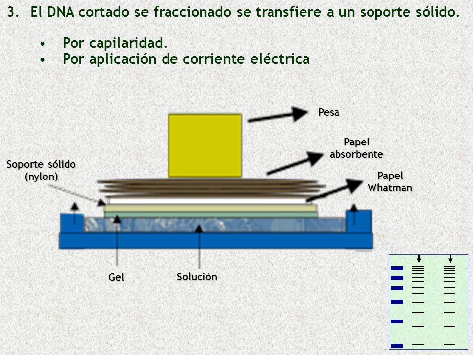 3. 3.El DNA cortado se fraccionado se transfiere a un soporte sólido. Por capilaridad. Por aplicación de corriente eléctrica Soporte sólido (nylon) Ge