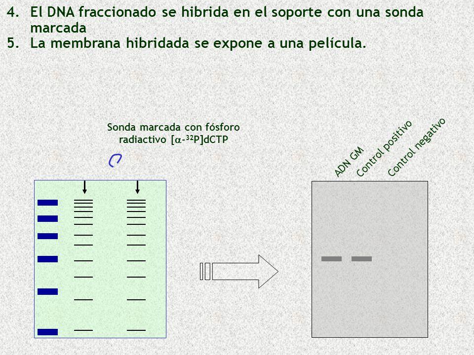 Sonda marcada con fósforo radiactivo [ - 32 P]dCTP 4. 4.El DNA fraccionado se hibrida en el soporte con una sonda marcada 5. 5.La membrana hibridada s