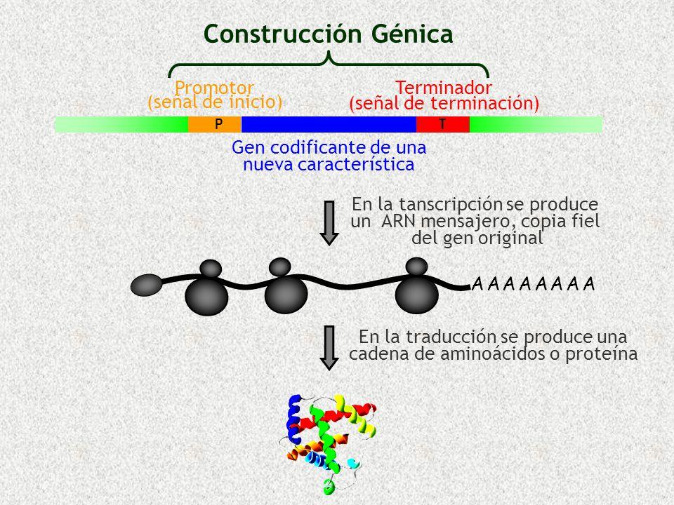 Construcción Génica Promotor (señal de inicio) Terminador (señal de terminación) Gen codificante de una nueva característica A A A A A A A AA A A A A