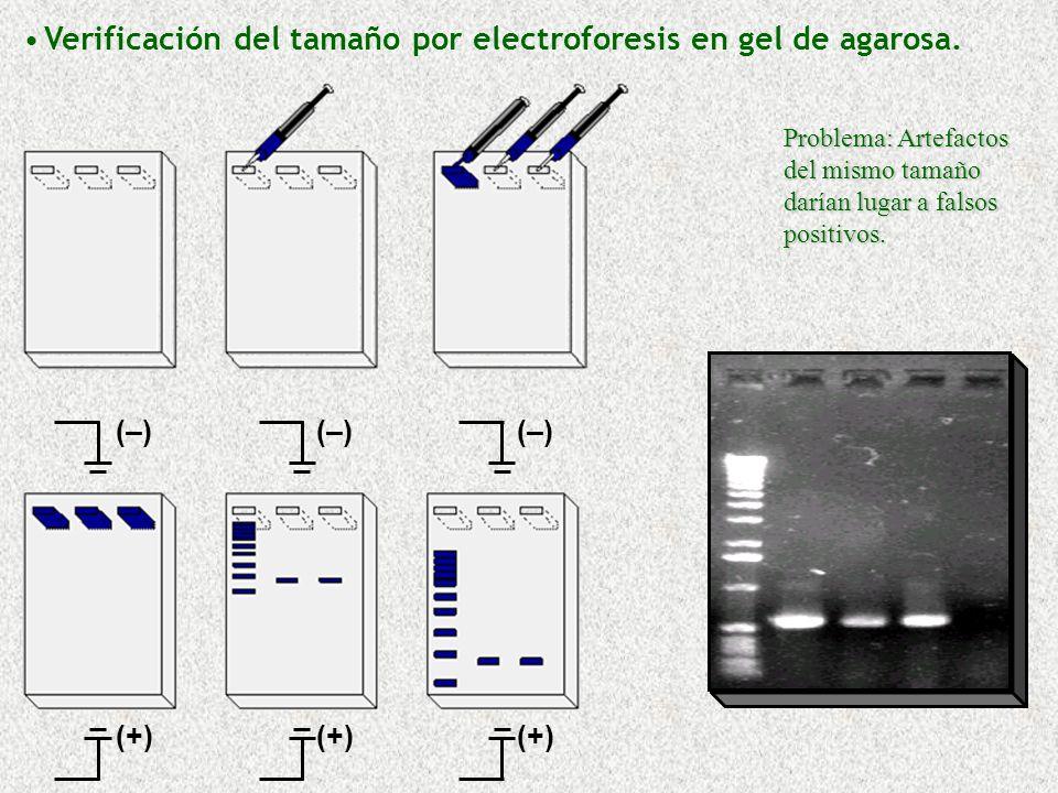(+) (–)(–)(–)(–)(–)(–) Verificación del tamaño por electroforesis en gel de agarosa. Problema: Artefactos del mismo tamaño darían lugar a falsos posit