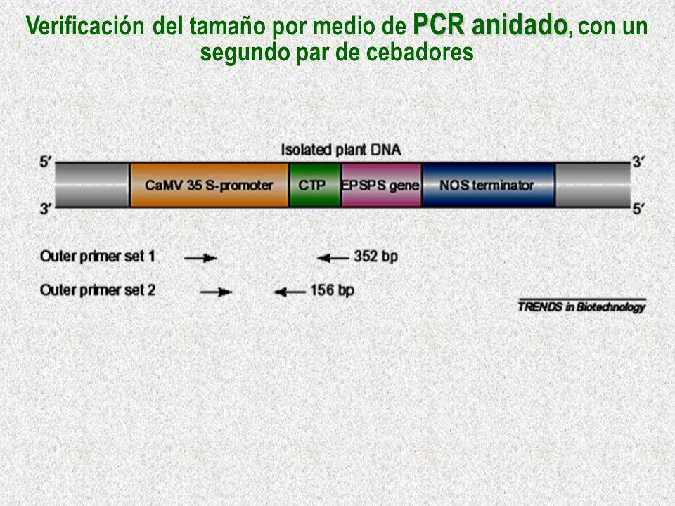PCR anidado Verificación del tamaño por medio de PCR anidado, con un segundo par de cebadores