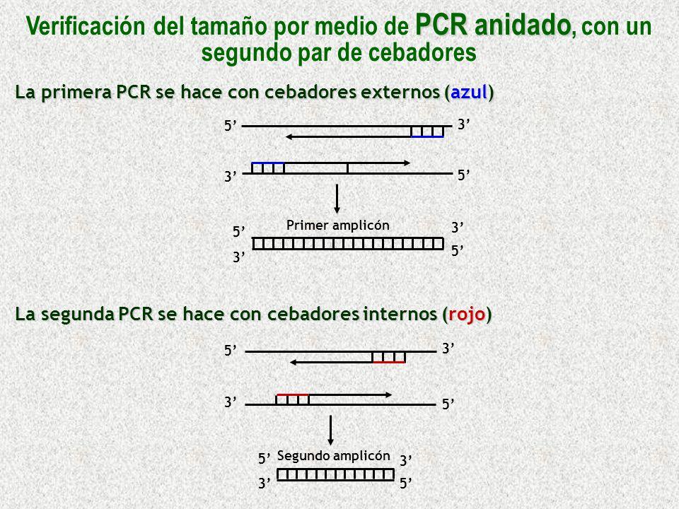 La primera PCR se hace con cebadores externos (azul) La segunda PCR se hace con cebadores internos (rojo) 5 5 5 5 3 3 3 3 Primer amplicón 5 3 5 5 5 3