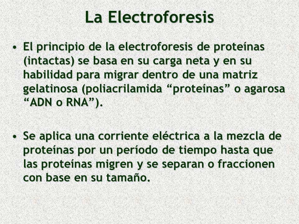 La Electroforesis El principio de la electroforesis de proteínas (intactas) se basa en su carga neta y en su habilidad para migrar dentro de una matri