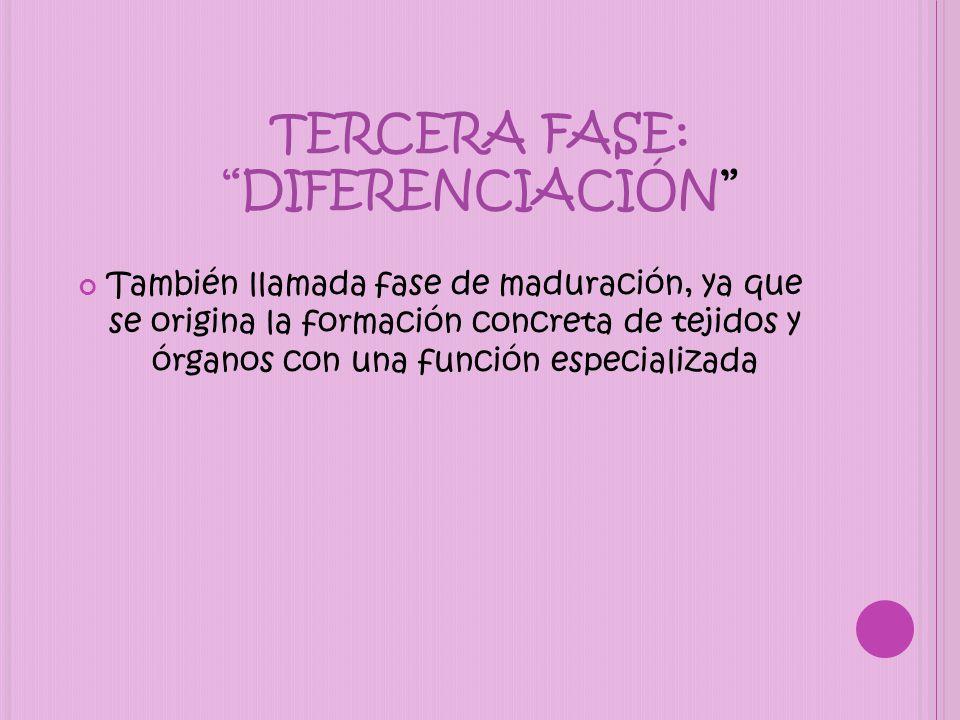 TERCERA FASE: DIFERENCIACIÓN También llamada fase de maduración, ya que se origina la formación concreta de tejidos y órganos con una función especial