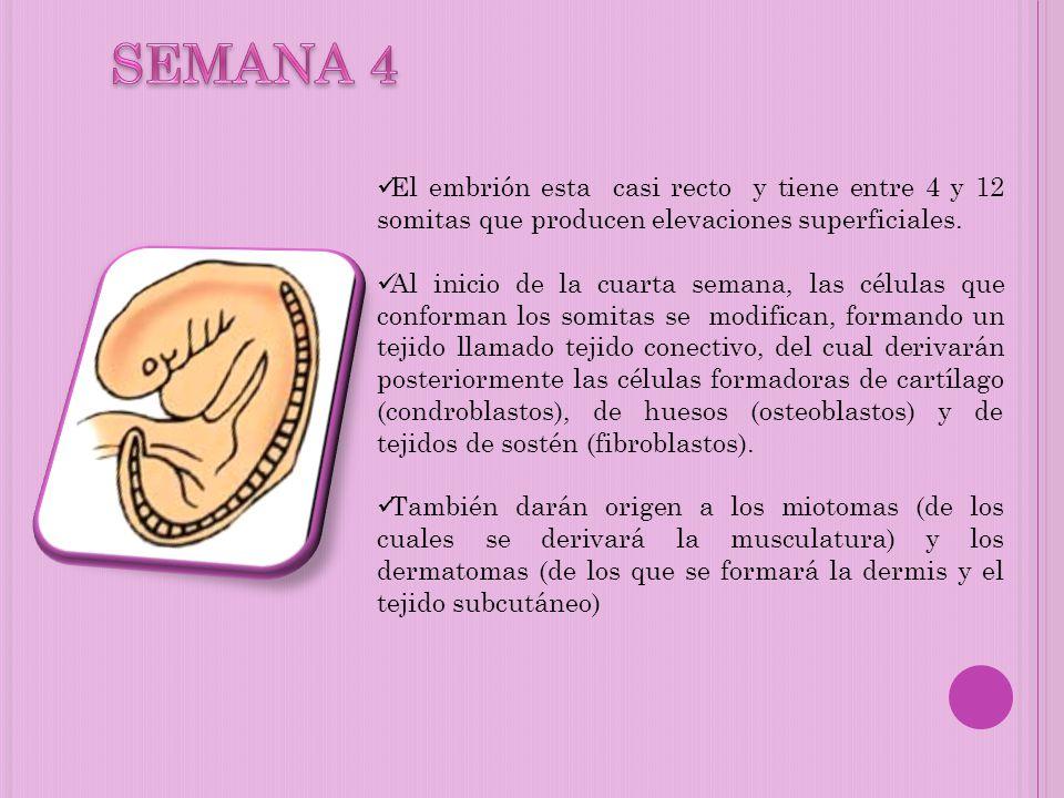 El embrión esta casi recto y tiene entre 4 y 12 somitas que producen elevaciones superficiales. Al inicio de la cuarta semana, las células que conform