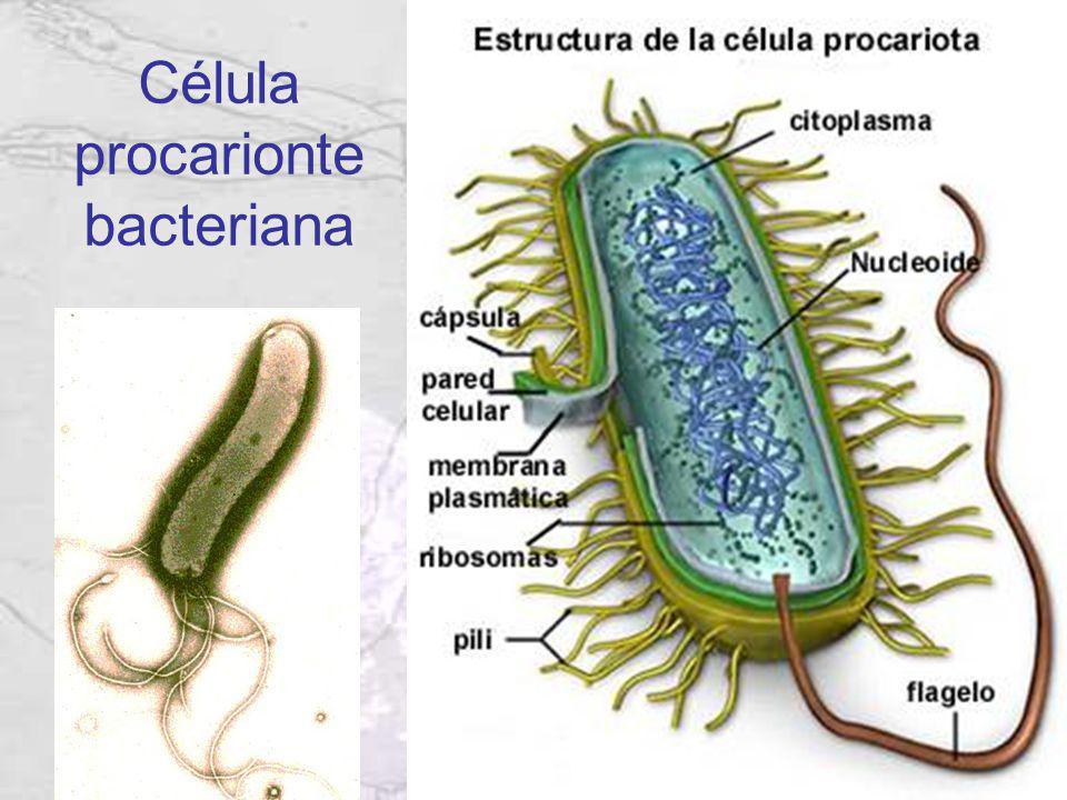 Célula procarionte bacteriana