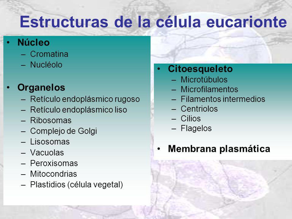 Estructuras de la célula eucarionte Núcleo –Cromatina –Nucléolo Organelos –Retículo endoplásmico rugoso –Retículo endoplásmico liso –Ribosomas –Comple