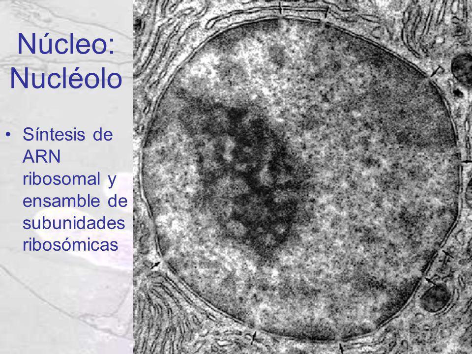 Núcleo: Nucléolo Síntesis de ARN ribosomal y ensamble de subunidades ribosómicas